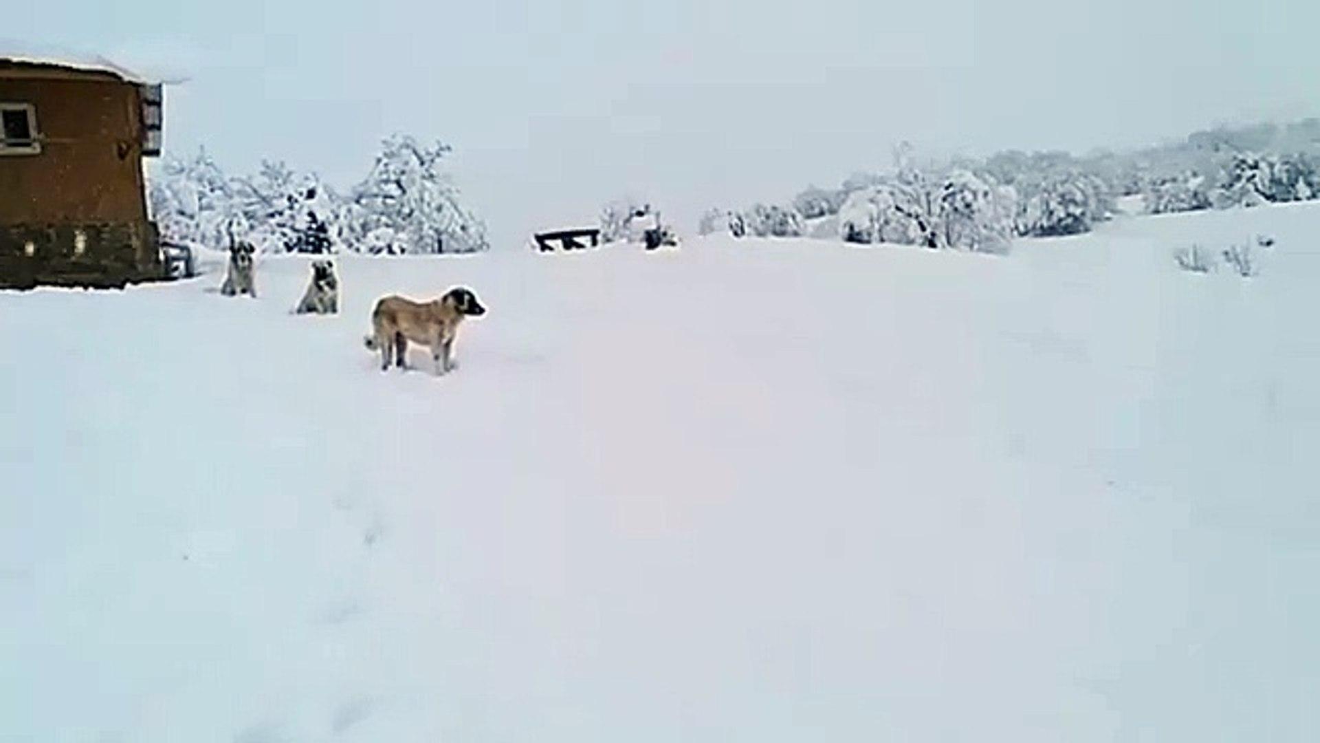 COBAN KOPEKLERi ve KAR MANZARASI - ANATOLiAN SHEPHERD DOGS and ViEWS SNOW