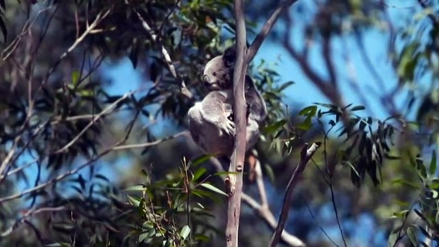 Koalas given a new place to recover after last summer's fires
