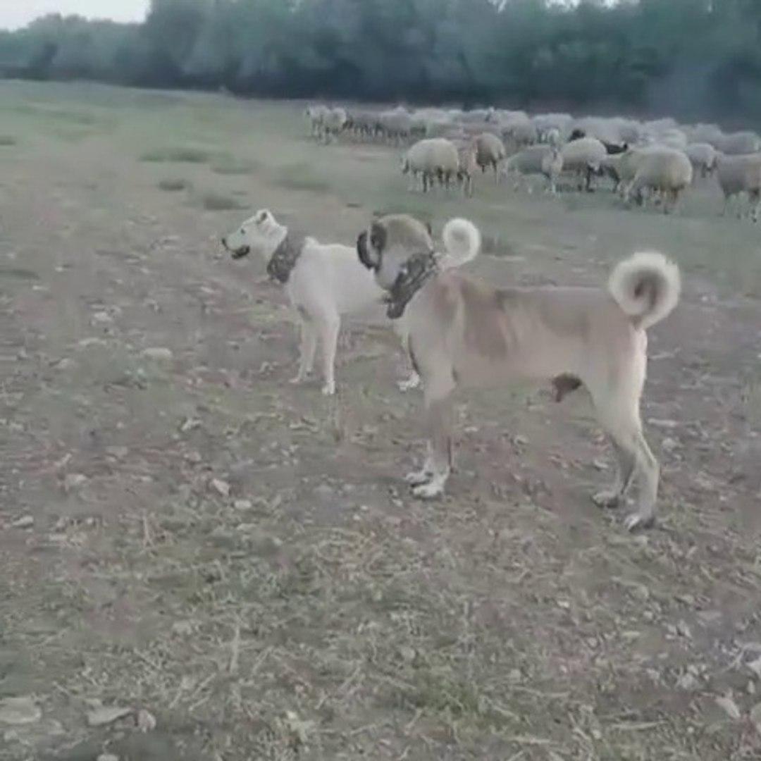 SiMiT KUYRUK AKBAS ve COBAN KOPEGi GOREVDE - AKBASH and SHEPHERD DOG at MiSSiON