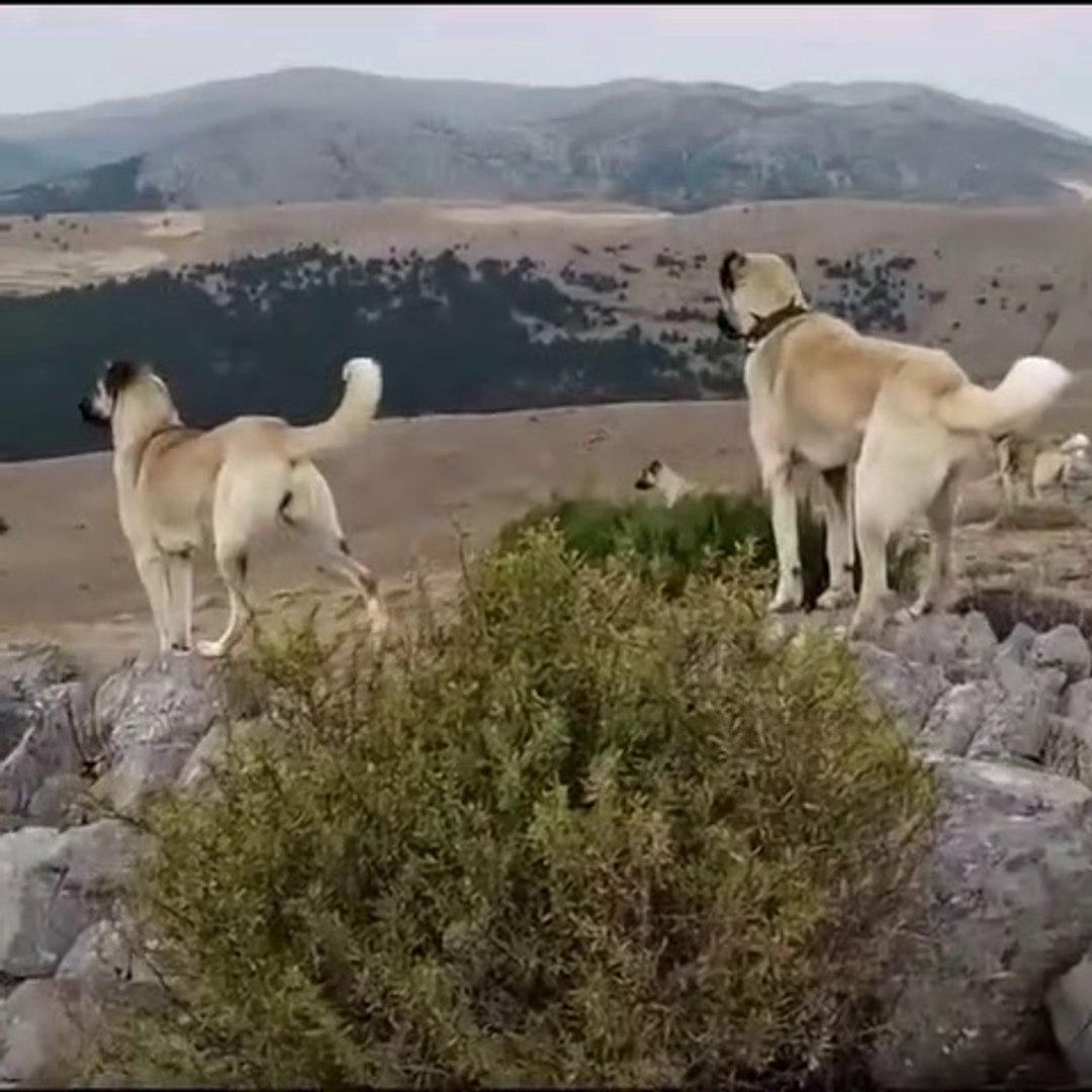 KANGAL KOPEKLERi GOZLER HEDEFTE BEKLiYOR - KANGAL SHEPHERD DOGS at MissiON