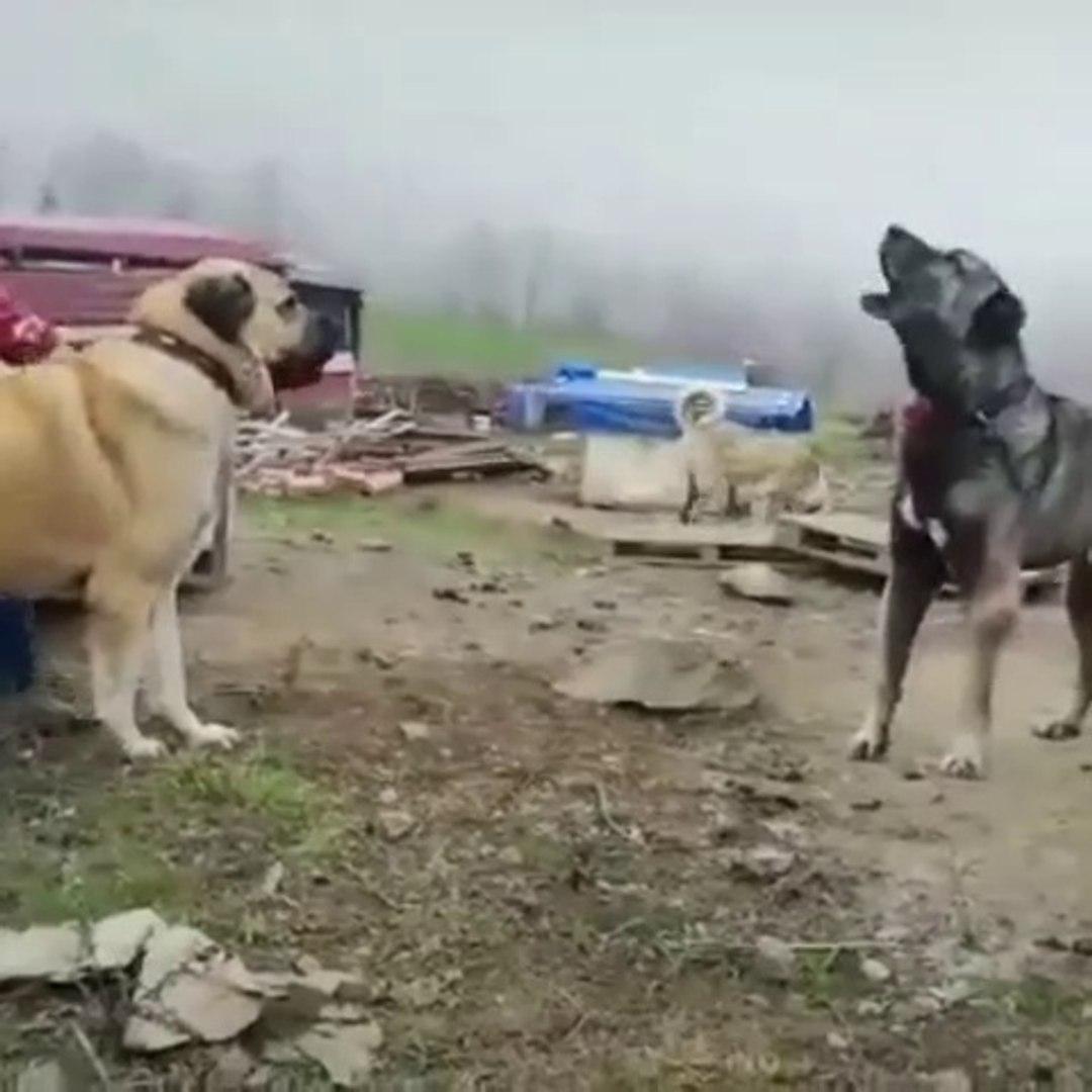 KANGAL ve COBAN KOPEGi UZAK ARA ATISMA - KANGAL DOG and SHEPHERD DOG VS