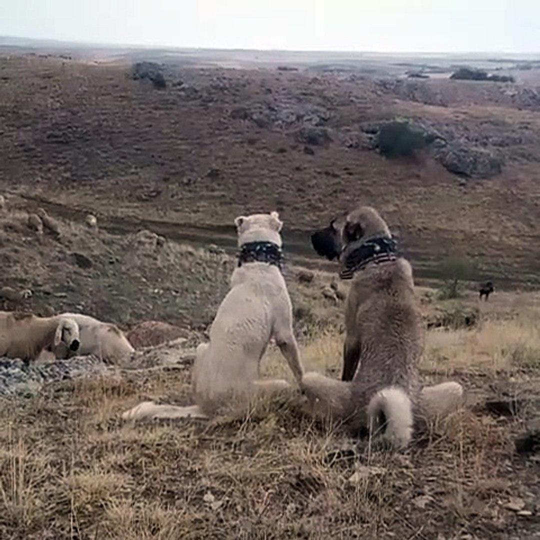 AKBAS ve KANGAL GOREVDE GOZLER HEDEFTE - AKBASH SHEPHERD DOG and KANGAL DOG at MiSSiON