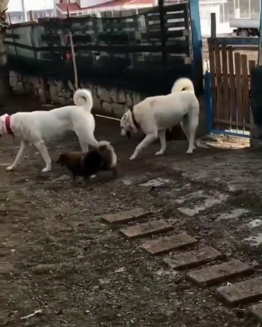 AKBAS COBAN KOPEKLERi ve DOSTU - AKBASH SHEPHERD DOG and FRiEND