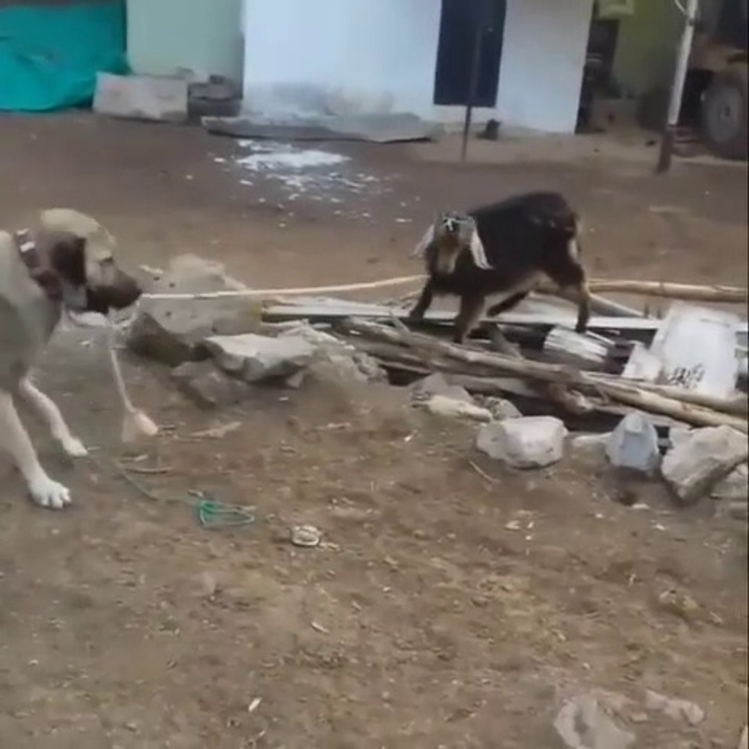 COBAN KOPEGi vs KECi - SHEPHERD DOG VS GOAT