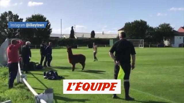 Un alpaga s'invite au match - Foot - ANG - WTF