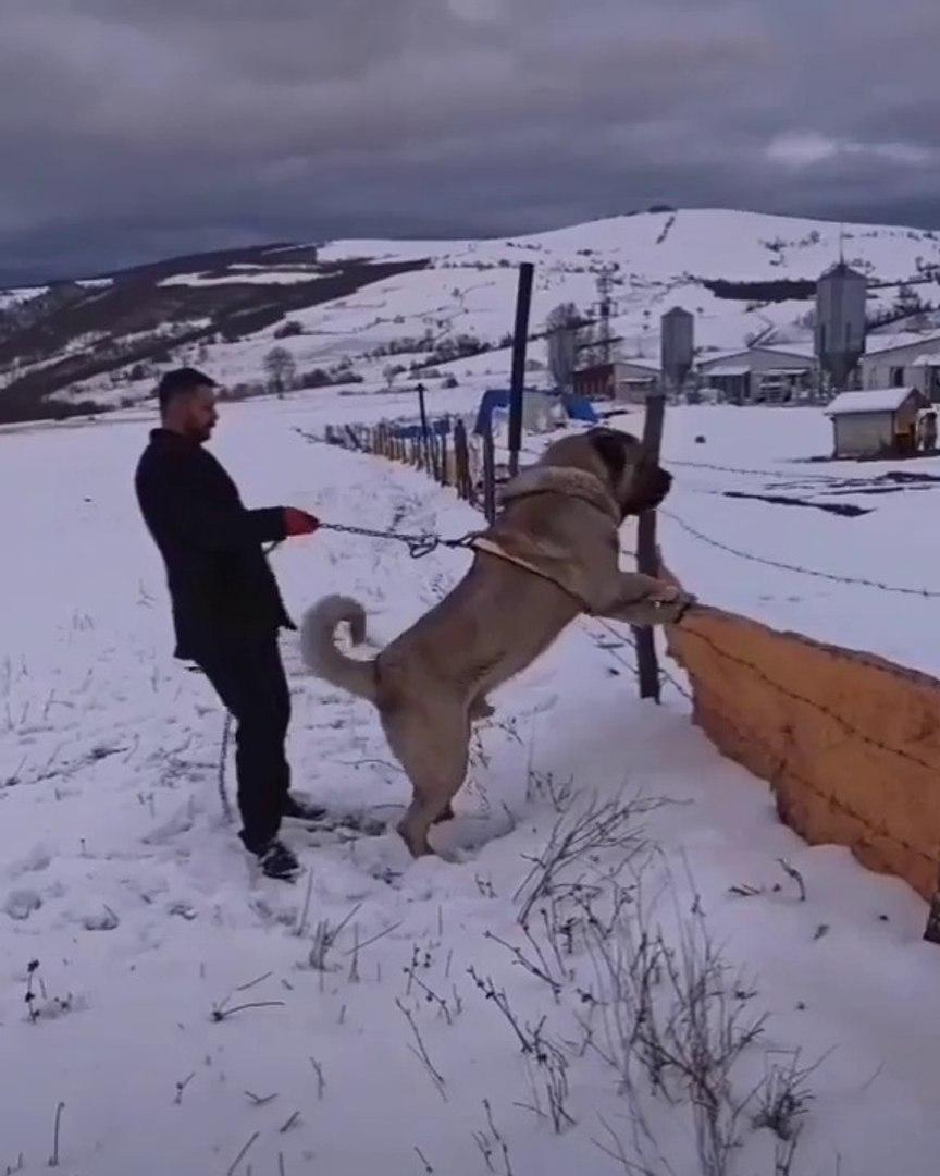 DEV COBAN KOPEGiNDEN GOVDE GOSTERiSi - GiANT ANATOLiAN SHEPHERD DOG
