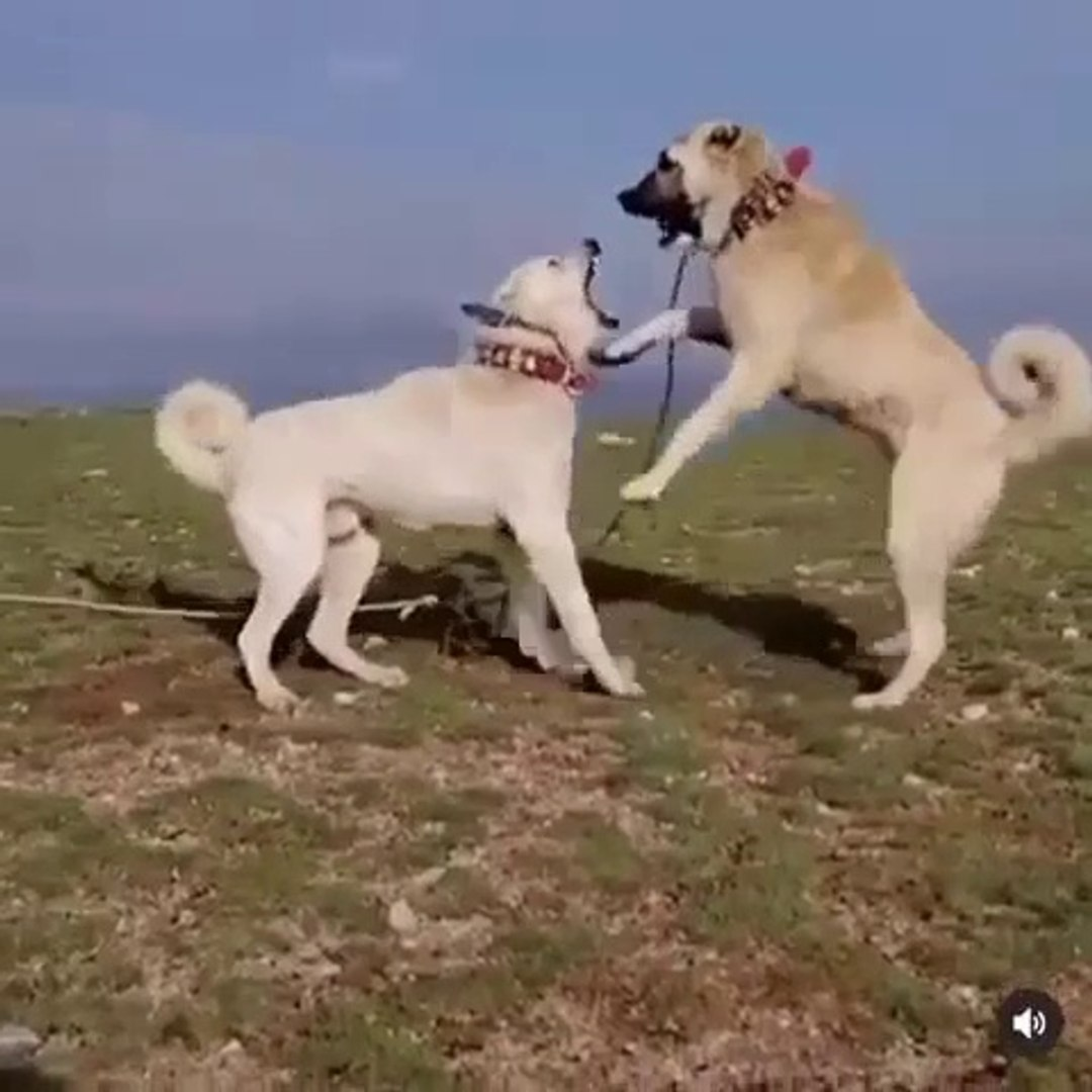 AKBAS ve COBAN KOPEGi YANLIS ANLAMADA - AKBASH DOG vs SHEPHERD DOG