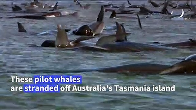 Rescue under way to save 180 stranded whales in Australia