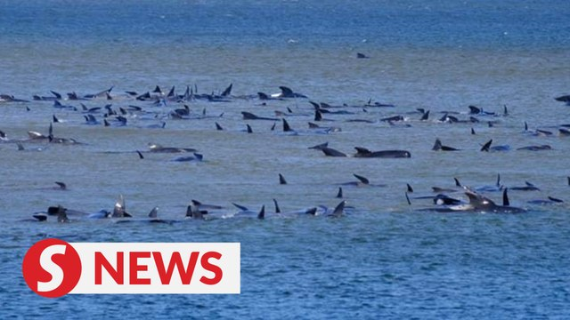Australia attempts to rescue hundreds of stranded pilot whales