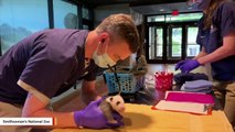 1-month-old-giant-panda-cub-gets-a-vet-exam
