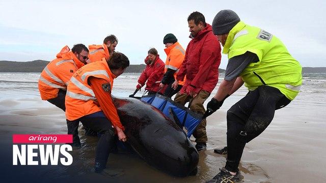 Around 270 whales stranded off west coast of Tasmania, Australia