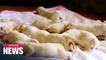 Georgian Shepherd gives birth to 17 puppies