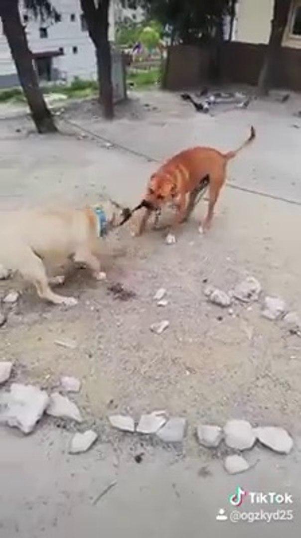PiTBULL vs COBAN KOPEGi - PiTBULL TERRiER VS ANATOLiAN SHEPHERD DOG
