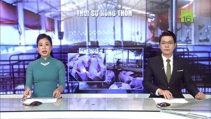 Tái bùng phát dịch tả lợn châu Phi tại Hà Nam | VTC16