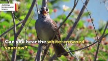 this-sparrow-changed-its-song-during-covid-19-lockdown
