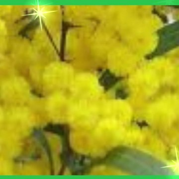 Different Types Of Wattle Trees In Africa And Australia
