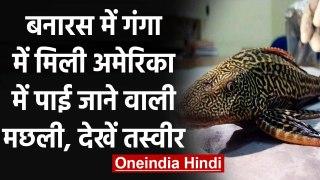 Varanasi: US में पाई जाने वाली Catfish गंगा में पहुंची, Scientists कर रहे Research । वनइंडिया हिंदी