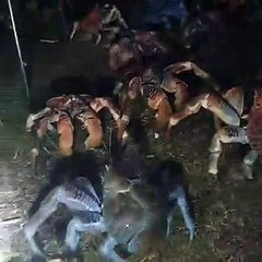Una horda de cangrejos gigantes invadieron una parrillada familiar en busca de comida