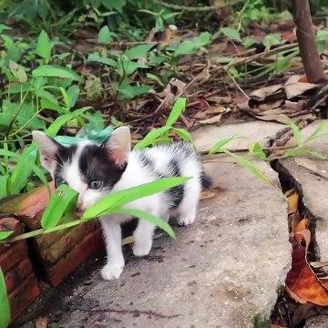 Tiny kitten playing and walking - cute kitten meowing