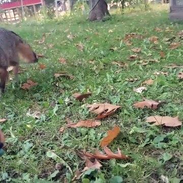 Grey fox meets kitten