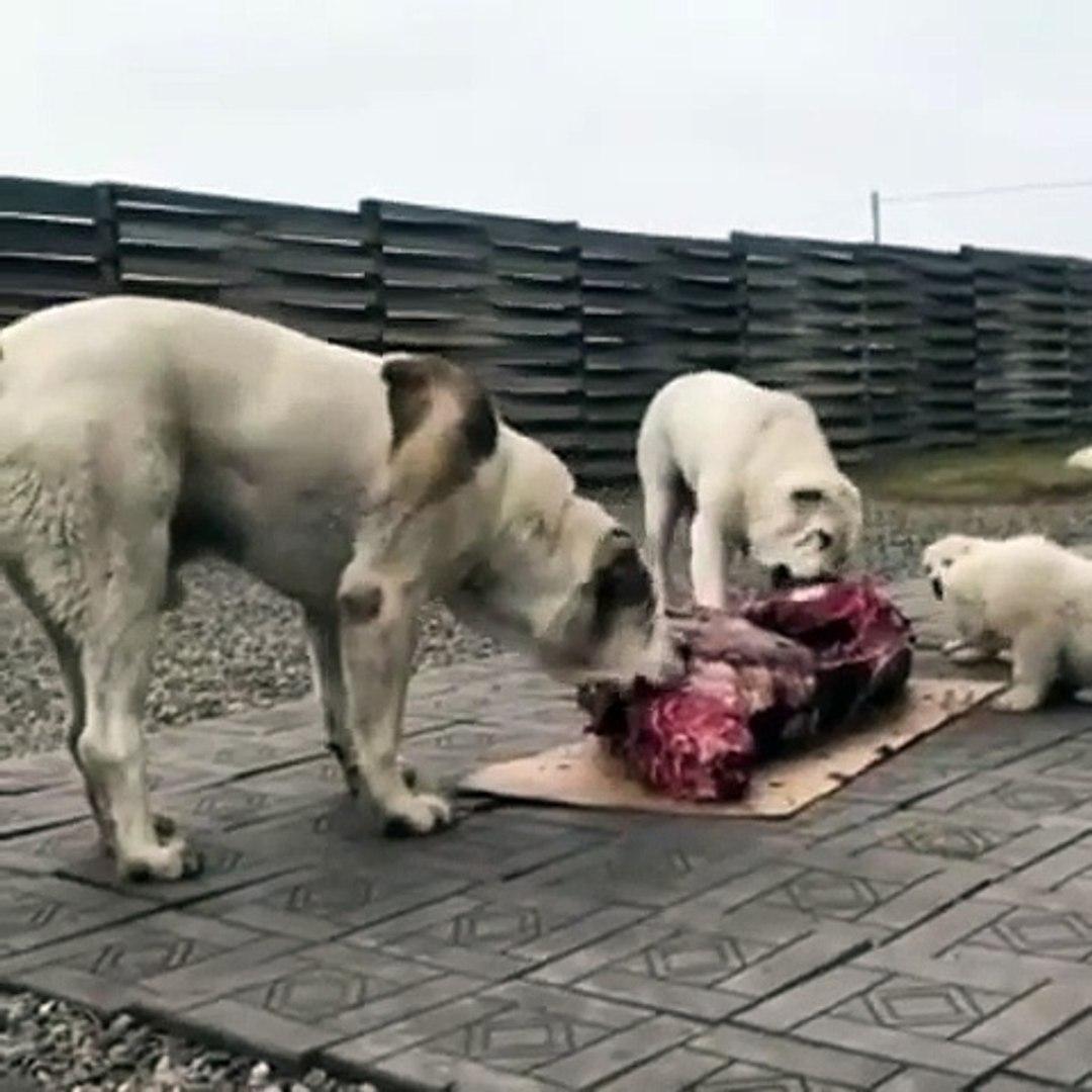ALABAY COBAN KOPEKLERiNE ZiYAFET VAR - ALABAi SHEPHERD DOG MEATiNG EAT