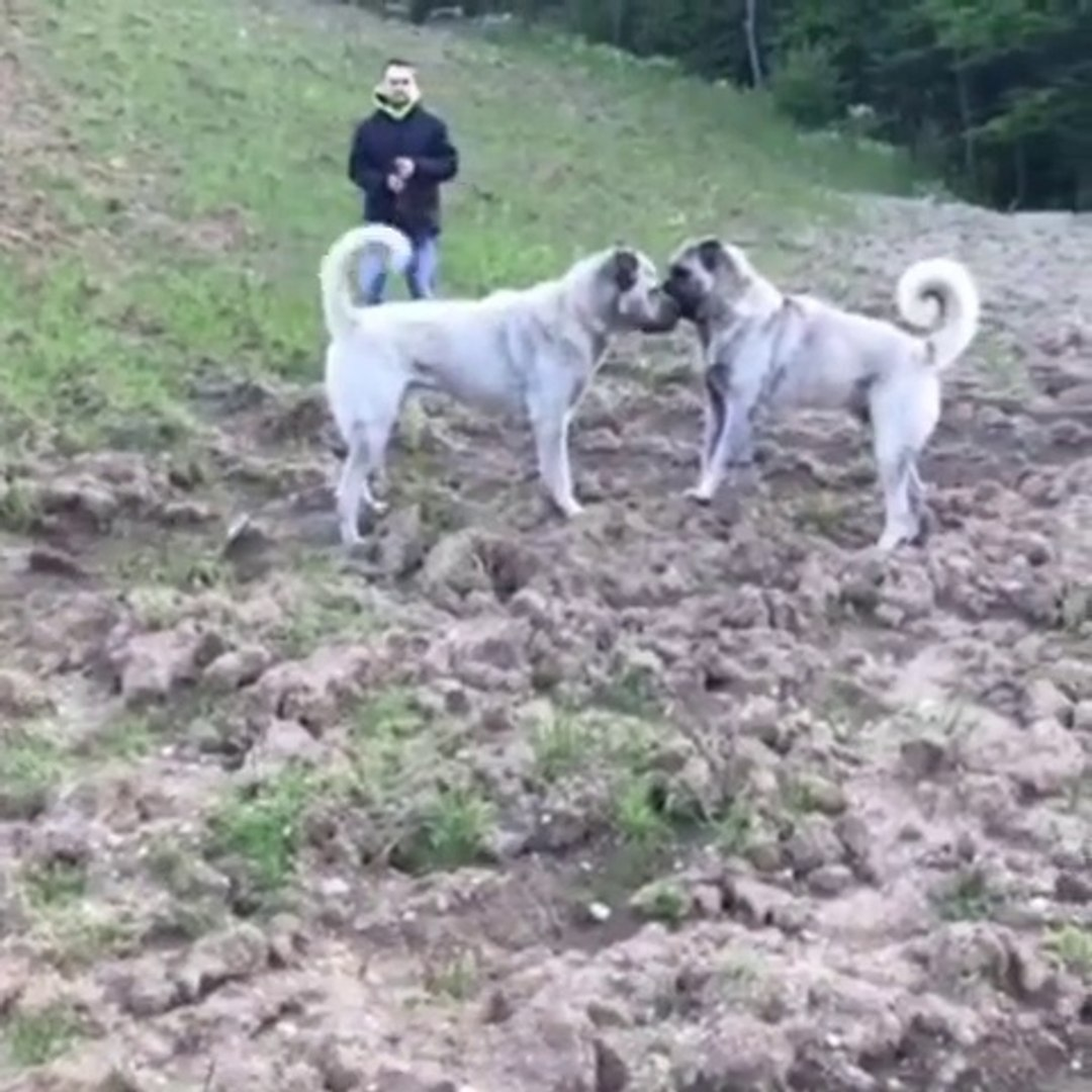 SiVAS KANGALLARDAN HIZLI KARSILASMA - SiVAS KANGAL SHEPHERD DOGS FACE to FACE