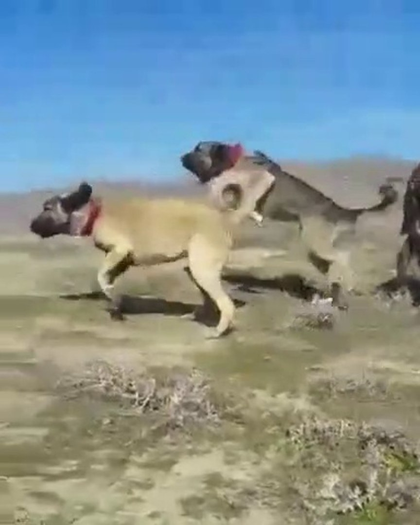 GENC VE SiNiRLENMiS ANADOLU COBAN KOPEKLERi - YOUNG and ANGRY ANATOLiAN SHEPEHRD DOGS
