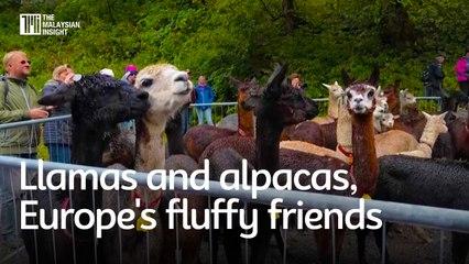 Llamas and alpacas, Europe's fluffy friends