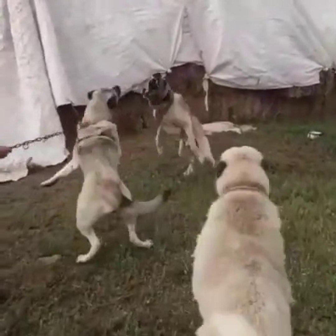 KANGAL ve COBAN KOPEKLERi ARENASI MUBAREK - KANGAL SHEPHERD DOGS and SHEPHERD DOGS ARENA