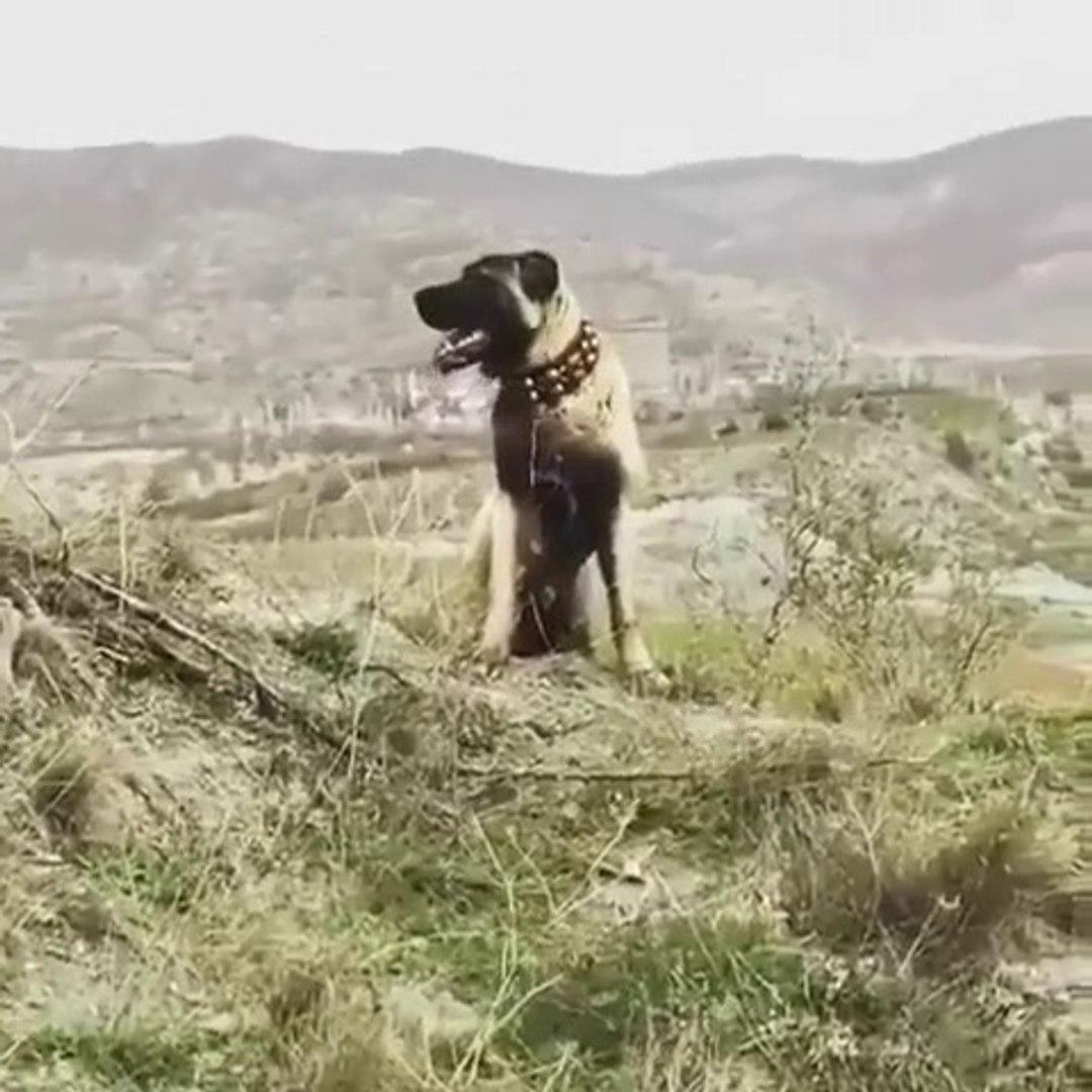 KARABAS COBAN KOPEGi ADETA POZ VERiYOR - BLACK HEAD ANATOLiAN SHEPHERD DOG