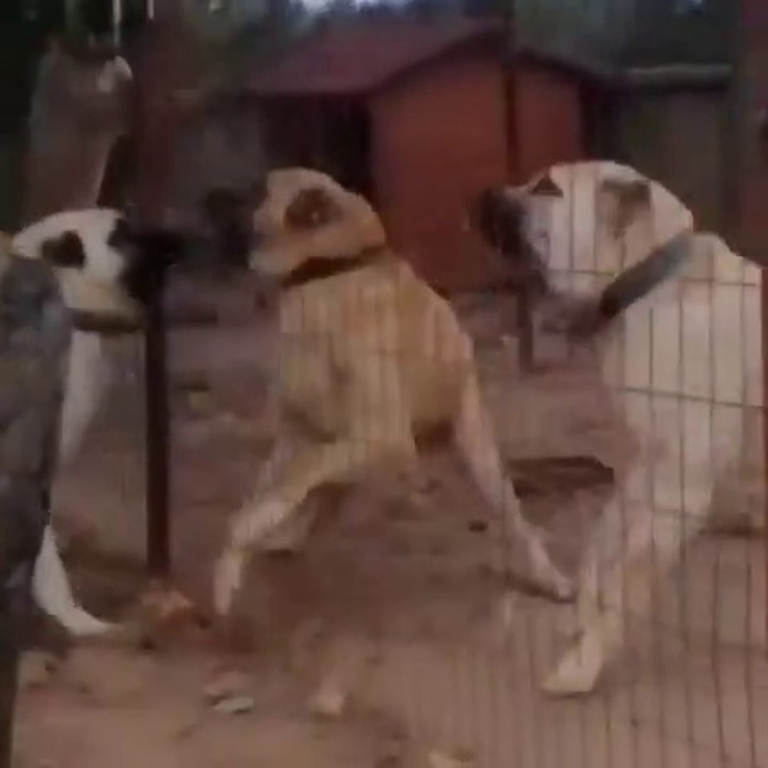 SiVAS KANGAL KOPEGi vs COBAN KOPEGi - KANGAL DOG vs ANATOLiAN SHEPHERD DOG