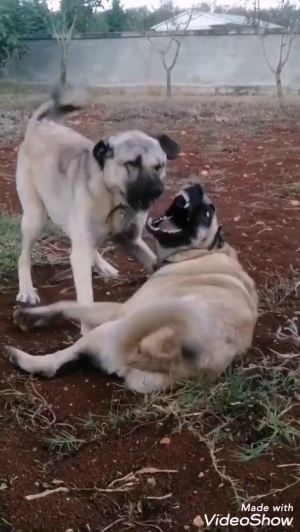 GENC SiVAS KANGAL KOPEKLERi YOUNDA - YOUNG KANGAL DOGS PLAYS