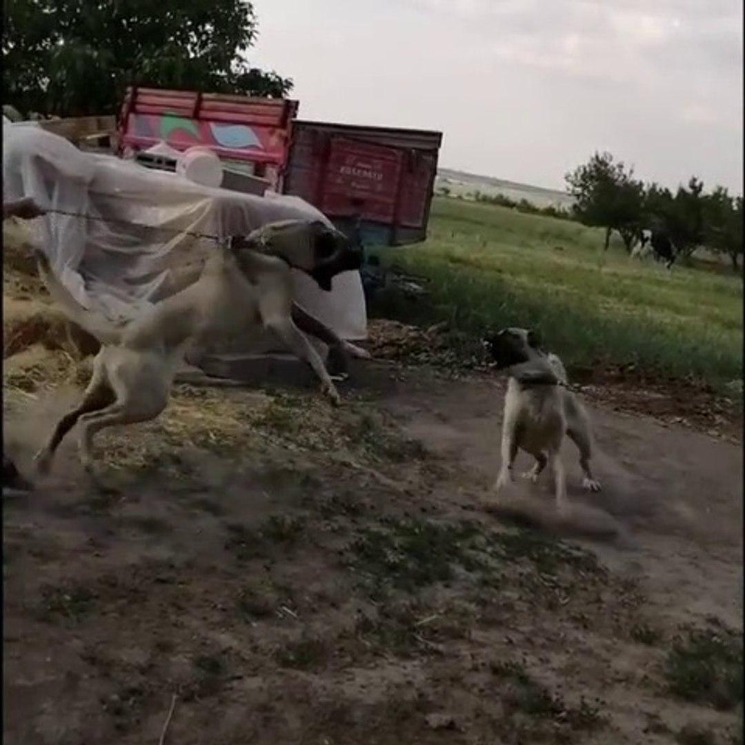 SiVAS KANGAL KOPEKLERi MERADA VS - KANGAL SHEPHERD DOGS VS
