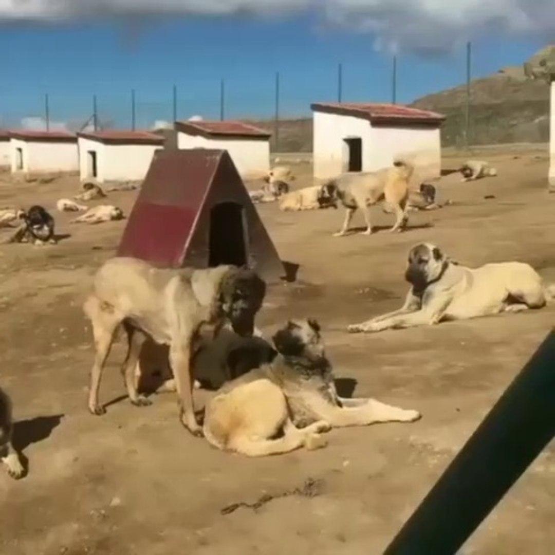 SiVAS KANGAL KOPEKLERi CiFTLiGi - KANGAL SHEPHERD DOGS FARM