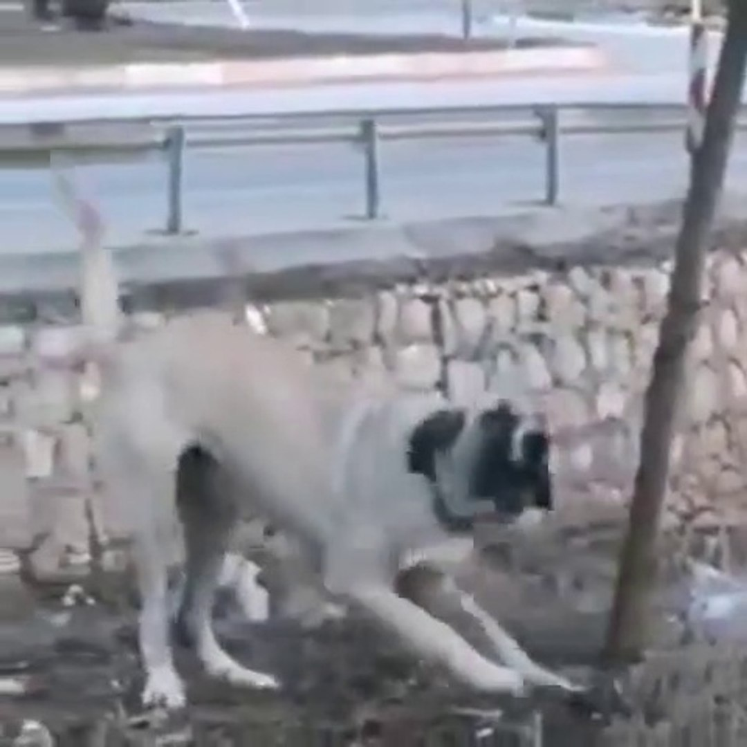 DiSi DELi ALA COBAN KOPEGi - ANGRY FAMELA ALA SHEPHERD DOG
