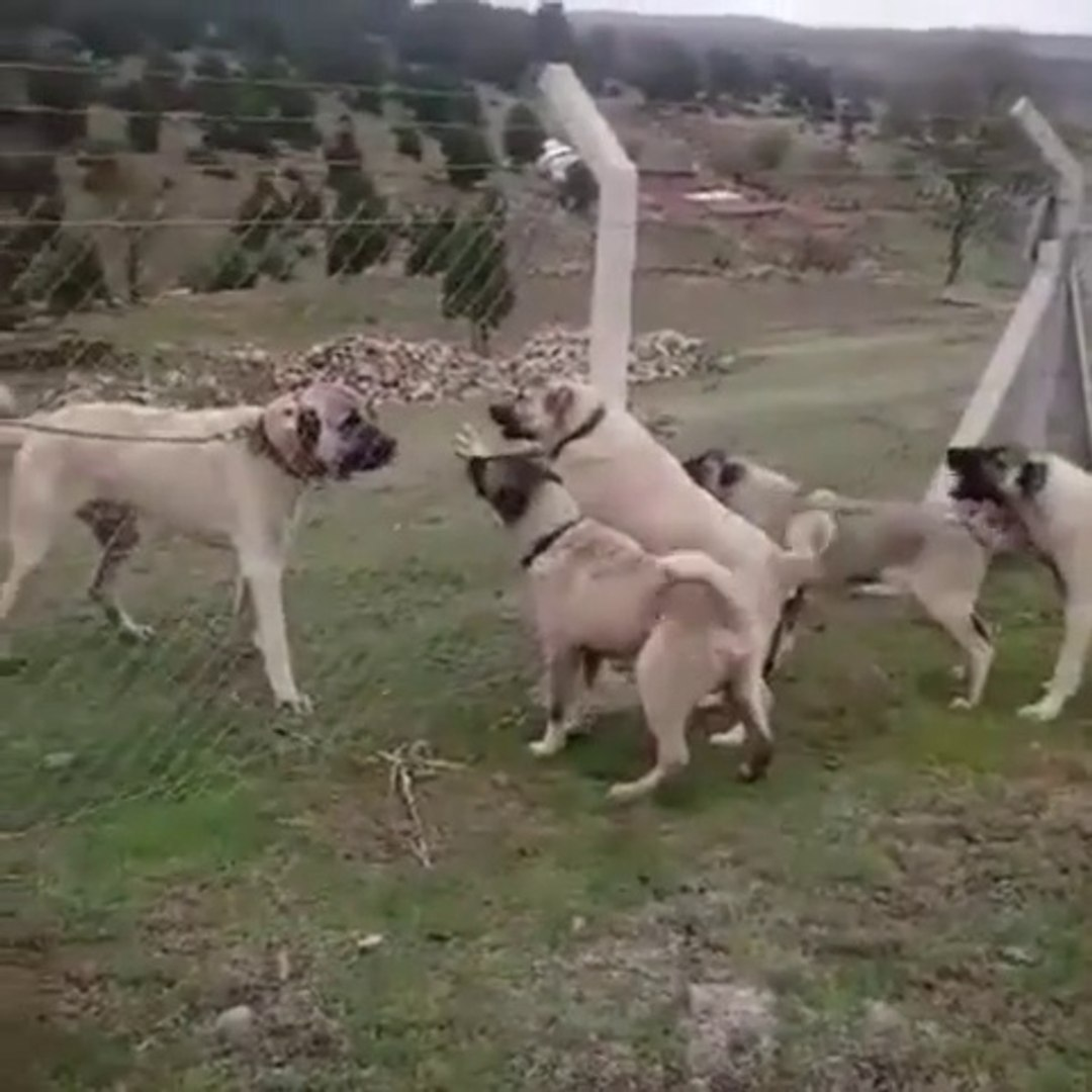 KANGAL YAVRULARI ve YETiSKiN KANGAL ATISMA - KANGAL PUPPiES VS GROWN KANGAL DOG