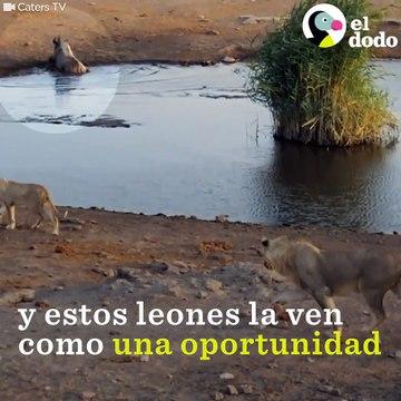 Y estos leones la ven Como Una oportunidad