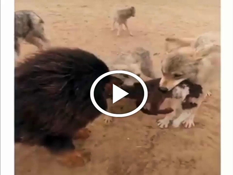 TiBET MASTiF COBAN KOPEGi VS KURTLAR - TiBETiAN MASTiFF SHEPHERD DOG VS WOLVES