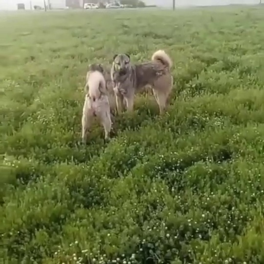 SiMiT KUYRUK SiVAS KANGAL KARDES KOPEKLERi - BROTHER KANGAL SHEPHERD DOGS
