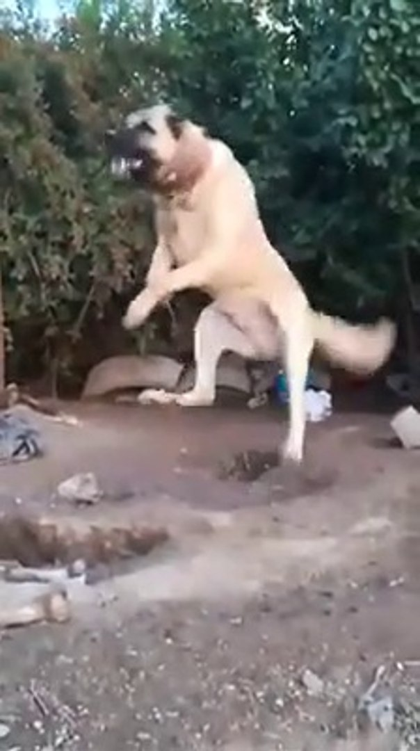 BAHCEDE SERi ADAMCI UCAN COBAN KOPEGi - FLYiNG ANATOLiAN SHEPHERD DOG in GARDEN