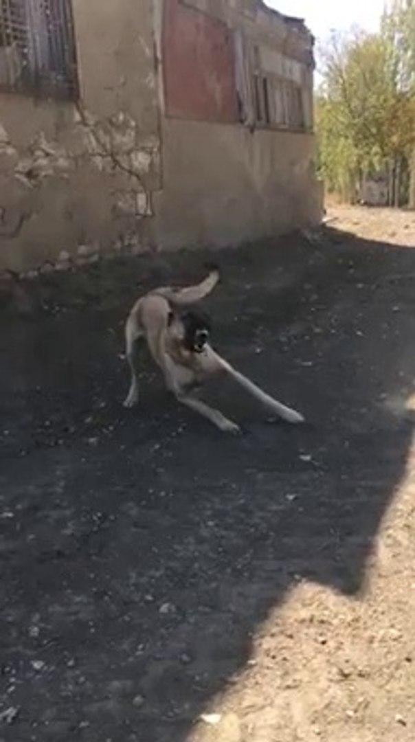 AGIR CEKiMDE KANGAL COBAN KOPEGi - SLOW MOTiON KANGAL SHEPHERD DOG