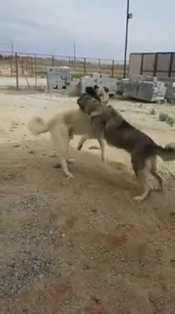 ANADOLU COBAN KOPEKLERi BAHCEDE iLGiNC OYUNLARI - SHEPHERD DOGS PLAYS iNTERESTiNG