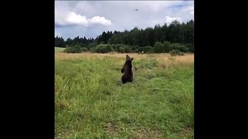 Hilarant : quand un ours chasse un drone