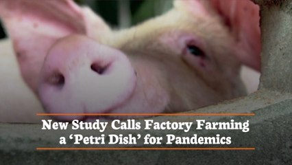 Factory Farming And The Future Of Pandemics