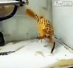 Ce poisson  mange tout et n'importe quoi
