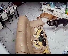 Ce jeune husky s'acharne sur un canapé pour dépenser toute son énergie