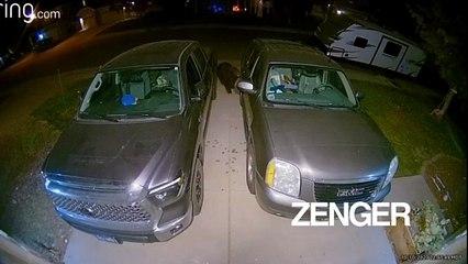 Bear examines cars in Colorado
