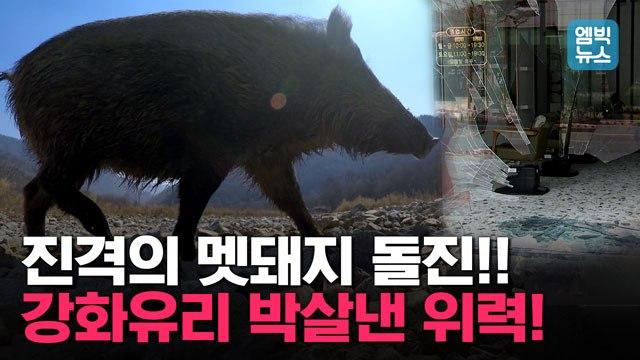 [엠빅뉴스] 도심 거대 멧돼지 돌진에 시민들 혼비백산. 10월이 가장 위험하다!