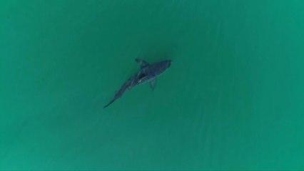 Why has California's shark population tripled?