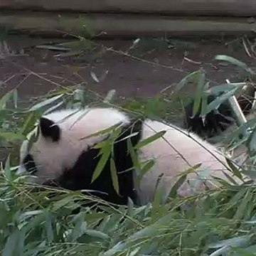 The Giant Panda Cubs' First Day Outside